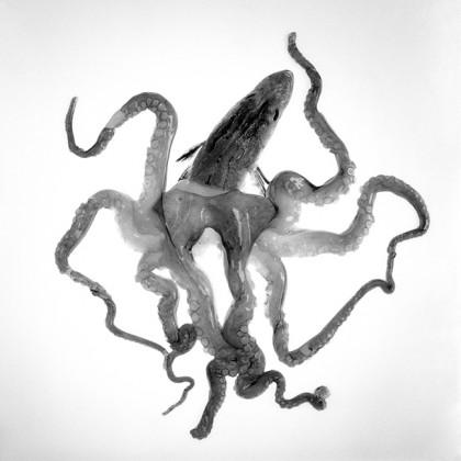 Octopodidae Bipunctatus, 2020